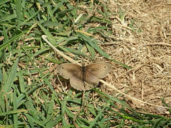 Meadow Brown (Katherine Hainsworth) Tags: coast yorkshire bempton rspb ywt flamborough summer meadowbrown butterfly
