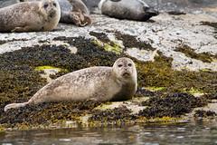 D50_6455.jpg (ManuelSilveira) Tags: mamiferosmarinhos focacomum locais mamiferos escocia fauna harborseal phocavitulina tobermory scotland reinounido gb