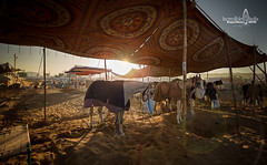 dinner time (Albert Photo) Tags: camelfair rajasthan india asia nomadic sky animal people horse feeding eat rest