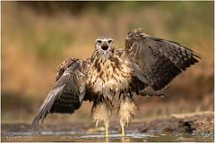 For shouting out loud - Common Buzzard (Buteo Buteo) (Gertj123) Tags: bird bokeh brown birdofprey bathing water wings netherlands nature hide lemelerberg hbn7 canon sigma120300mmf28 eyes