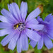 Chicory Shot w/ Cell Phone