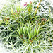 Swamp milkweed pods