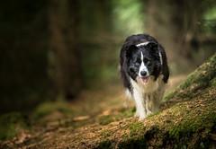 Slopepin along (JJFET) Tags: border collie dog dogs sheepdog herding