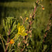 Hairy evening primrose