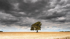 Tree. (robdando) Tags: wheat field crops harvest stormy cloud