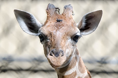 2018-08-02 (silare) Tags: food chewing eating lulu child daughter baby young animal reticulatedgiraffe giraffe giraffacamelopardalisreticulata zoo woodlandparkzoo seattle washington