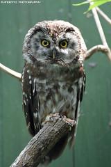 Tengmalm's Owl - Zoo Hluboka (Mandenno photography) Tags: animal animals owl owls tengmalms dierenpark dierentuin dieren czech photography zoo ngc nature mandenno