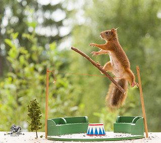 red squirrels on an rope and a stick