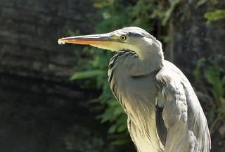 Heron in Amersfoort
