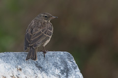 Rock Pipit (Tim Melling) Tags: anthus petrosus rock pipit northumberland timmelling
