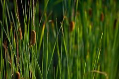 Shades of green (Ernst_P.) Tags: austria aut botanischergarten innsbruck österreich tirol gras pflanze binse samyang walimex 135mm f20