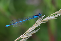 IMGP7568c Common Blue damselfly, Lackford Lakes, July 2018 (bobchappell55) Tags: commonblue damselfly enallagmacyathigerum insect wild wildlife nature suffolk lackfordlakes