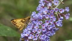 Zabulon on Butterfly Bush (Odonata457) Tags: columbia maryland unitedstates male zabulon skipper poaneszabulon