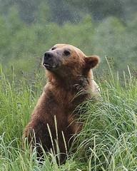 Alaska104 (lorstierlen) Tags: kodiak katmai nature bears wildlife seal
