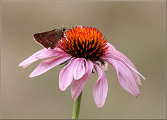 Skipper on Coneflower (mylens) Tags: canon7d coneflower flower insect wildlife nature outside pink summer seasonal wings