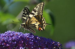Papilio machaon - Old World Swallowtail - Le Machaon ou Grand porte-queue - 25/06/18 (Philippe_Boissel) Tags: papiliomachaon lemachaon machaon grandportequeue oldworldswallowtail papilioninae papilionidae papillon insects rhopalocère lepidoptera lepidoptère europe france occitanie lot 0352 gramat