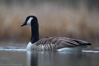 Canadagås - Canada Goose-3.jpg