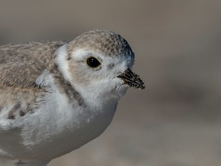 Piping plover portrait
