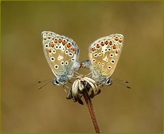 Common Blues Copulating - Masts Field (glostopcat) Tags: commonbluebutterflies butterflies insects invertebrates glos macro summer july butterflyconservation prestburyhillnaturereserve