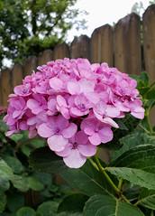 Pretty Pink (grinnin1110) Tags: charlotte unitedstatesofamerica flora northamerica hydrangeaceae northcarolina hydrangea thuoanh usa mecklenburgcounty nc unitedstates us