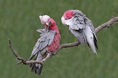 Galah (Alan Gutsell) Tags: galah parrot wildlife photo alan nature canon camera australianbird australian austrialia queensland tropical