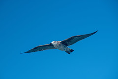 Up In The Air (zenseas) Tags: africa portelizabeth sunny southafrica kelpgull blueskies holiday algoabay flying seagull indianocean vacation easterncape larusdominicanus gull