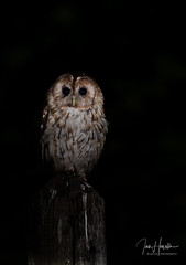 Tawny Owl (Ian howells wildlife photography) Tags: ianhowells ianhowellswildlifephotography nature naturephotography nationalgeographic night unitedkingdom 1dxmkii canon canonuk wildlife wildlifephotography wales wild wildbird wildbirds tawnyowl tawny owl
