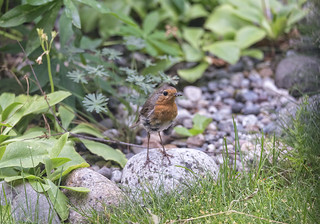 Robin youngster living in the garden, Norway