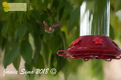 Rufous Hummingbird (ironekilz) Tags: chatfieldstatepark