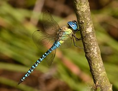 Southern Migrant Hawker (Severnrover) Tags: dragonfly southern migrant hawker odonata insect macro close up