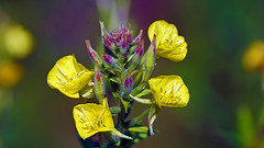 Common Evening Primrose (Oenothera biennis), Hartley Nature Center - Duluth MN USA, 07/29/18 (TonyM1956) Tags: elements sonyalphadslr macrounlimited tonymitchell commoneveningprimrose oenotherabiennis hartleynaturecenter duluth sonyphotographing