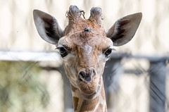 2018-07-30 (silare) Tags: lulu child daughter baby young animal reticulatedgiraffe giraffe giraffacamelopardalisreticulata zoo woodlandparkzoo seattle washington chewing food plant eating