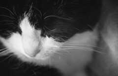 Kitty Pretty (matthew.vortex) Tags: kodakhc110 kentmere100 10028 super me pentax blackandwhite macro tuxedo cat