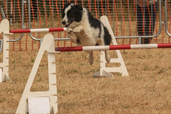 Dodgie in Competition! (sharongellyroo) Tags: dodge aceagility bordercollie agility rescue weetingsteamrally norfolk