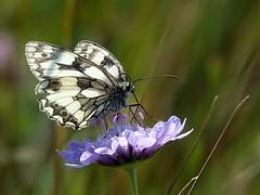 Marble White (dianereynolds) Tags: marblewhite marble white butterfly toutquarry blackandwhite wildlife