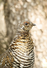 Tétras du Canada - Spruce Grouse (sandra bourgeois) Tags: québec canada wild wildlife canon passion parcdesgrandsjardins nature faune oiseaux birds