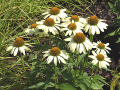 Wheaton, IL, Cantigny Park, Coneflowers (Mary Warren 11.0+ Million Views) Tags: wheatonil cantignypark nature flora plants garden park white blooms blossoms flowers coneflowers