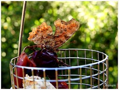 @ #mygardenfeeder (pete Thanks for 4 Million Views) Tags: comma calbum i always leave grapesberries bird feeder