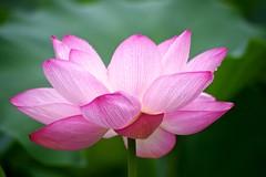 Open (tez-guitar) Tags: lotus flower bloom blossom macro sigma summer pentax pentaxart