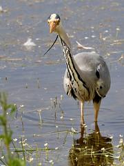 Beady Eye (robin denton) Tags: heron northumberland lownewtonbythesea bird nature wildlife ardeacinerea greyheron nationaltrust newtonpool