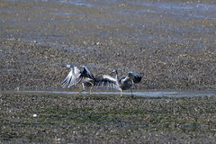 Blue heron (also know as white faced heron) (DanD_NZ) Tags: birds raglan newzealand nikond500 nikkor200500mmf56 blueheron whitefacedheron