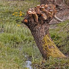 Supplice au bord du ruisseau (Jean-Marie Lison - PC en panne... À bientôt) Tags: eos80d sigma105mm bruxelles scheutbos saule ruisseau molenbeek