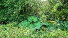 Giant Rhubarb (prajpix) Tags: giant hogweed invasive alien toxic umbellifer plant flower nonnative rash green verdant undergrowth massive riverside woods scenery plants leaves naturephotography