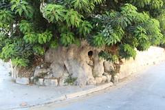 ein ziemlich alter Baum (ingejahn) Tags: rinella sonntagsinkalkara malta maltalove sommer sonne strand baden wasser pflanzen