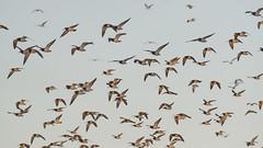 black-fronted tern (DanD_NZ) Tags: bif miranda blackfrontedtern newzealand nikond500 nikkor200500mmf56