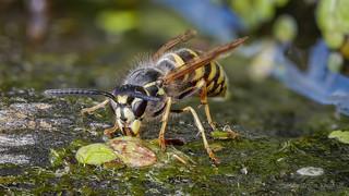 Gemeine Wespe (Vespula vulgaris) beim Trinken