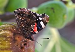 Falter / Butterfly [413] (Jörg Arlandt) Tags: 105mm kroatien macro schmetterling tierfoto tierportrait
