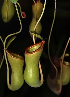 Sarracenia (Sarraceniaceae) - North American Trumpet Pitcher