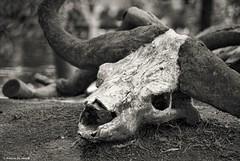 Remains.... (Joe Hengel) Tags: remains escondido escondidoca california ca goldenstate sandiegocounty safaripark park skull bw blackandwhite monochrome
