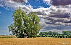 Landschaftsfoto (garzer06) Tags: himmel wolken deutschland landschaft baum grün schweikvitz landschaftsfoto mecklenburgvorpommern landschaftsbild wolkenhimmel landscapephotography inselrügen getreide getreidefeld insel landschaftsfotografie rügen